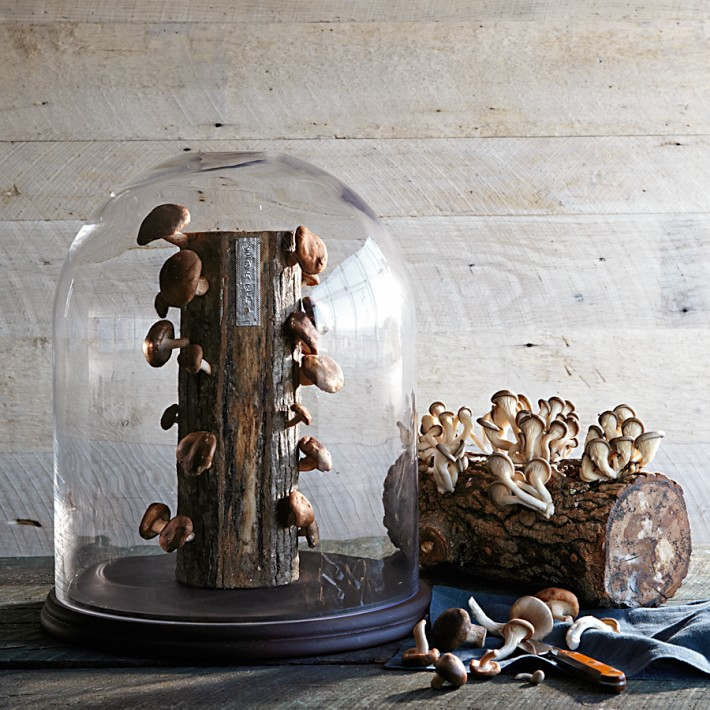shiitake-mushroom-log-o
